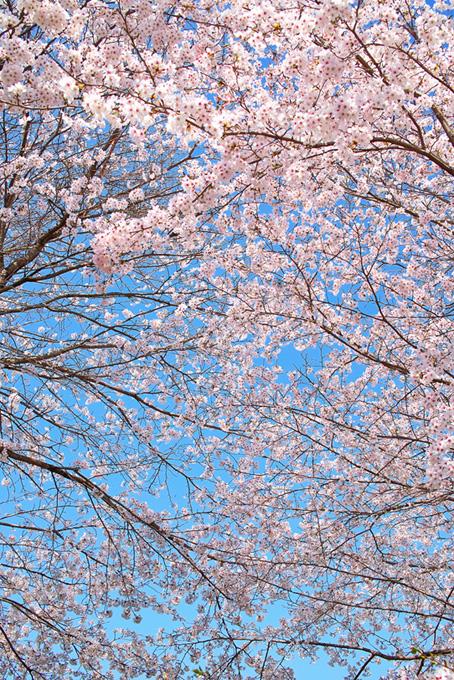 桜の枝が青空に向き合う(桜 可愛いの画像)
