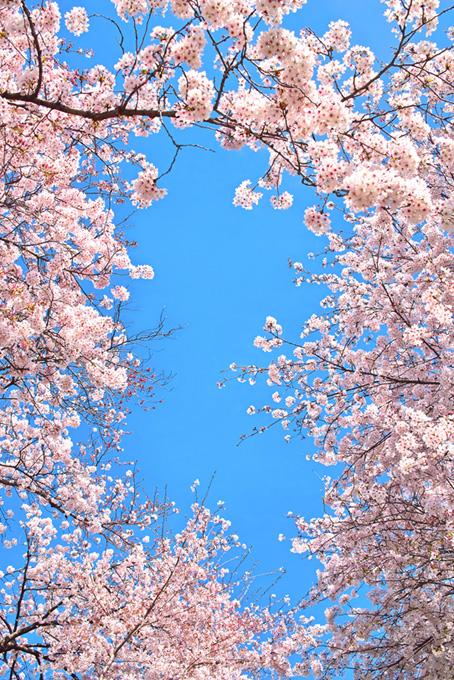 桜のフレームと青空の背景(桜 可愛いの画像)