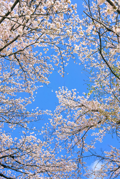 白い花を沢山つけた桜(桜 可愛いの画像)