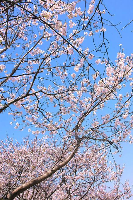 花を付ける桜(桜 縦の画像)