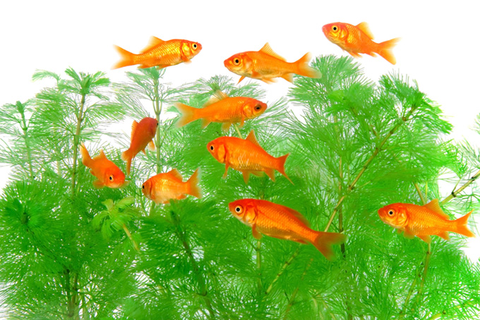 赤い金魚と水草