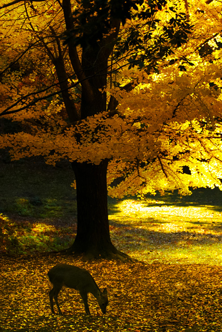 黄金色のイチョウの木と鹿