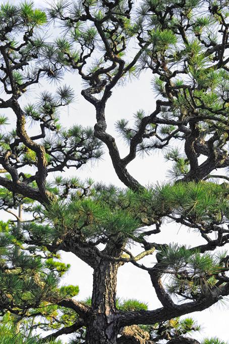 松の和風背景
