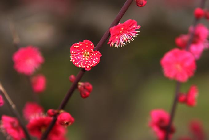 鮮やかな赤い梅の花