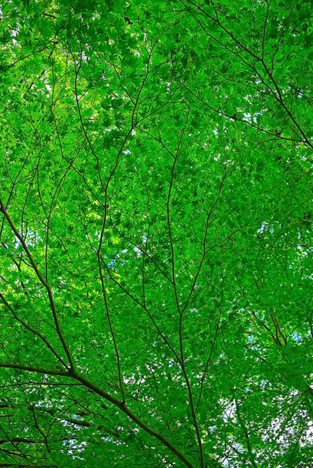 涼しげな緑のモミジ