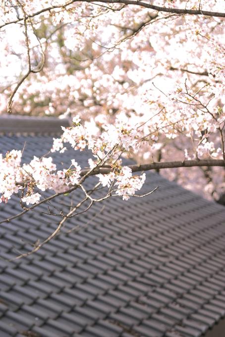 瓦と桜の和風景色