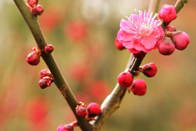 ピンクの花咲く初春の梅のテクスチャ