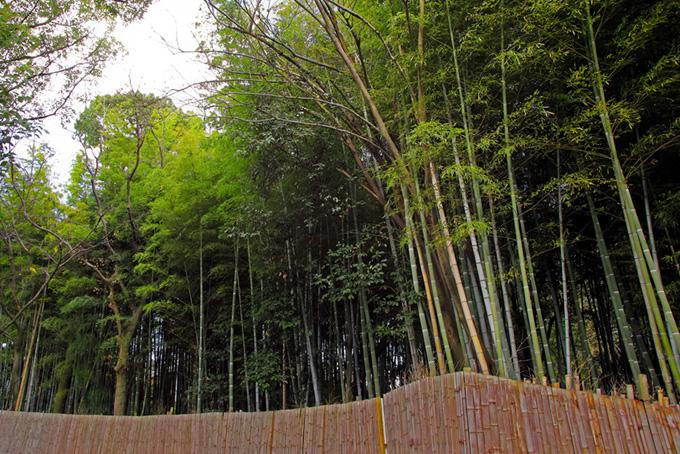 青竹が伸びる竹林と竹垣