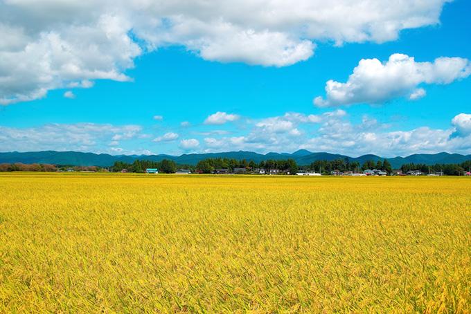 稲穂が実る黄色い田