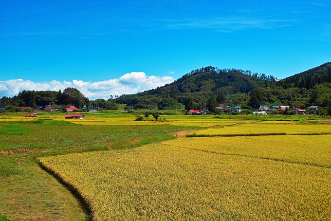 稲刈り前の豊かな田園風景