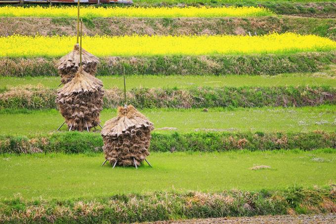 菜の花と段々畑(背景 春 画像のフリー画像)