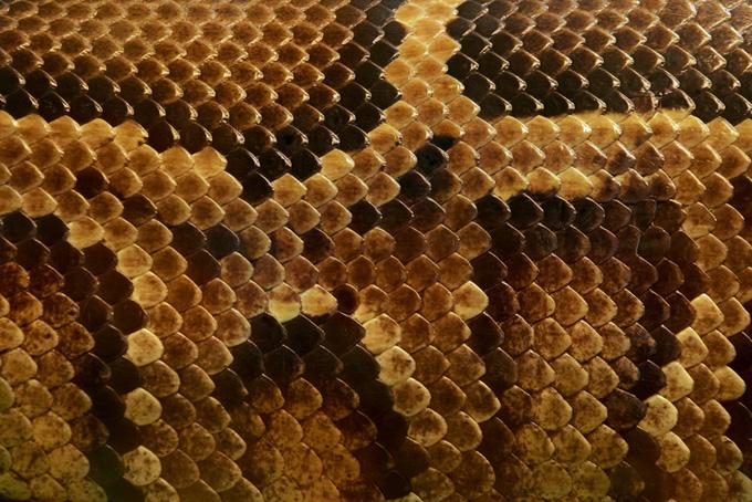 細かい鱗から構成されるニシキヘビの柄