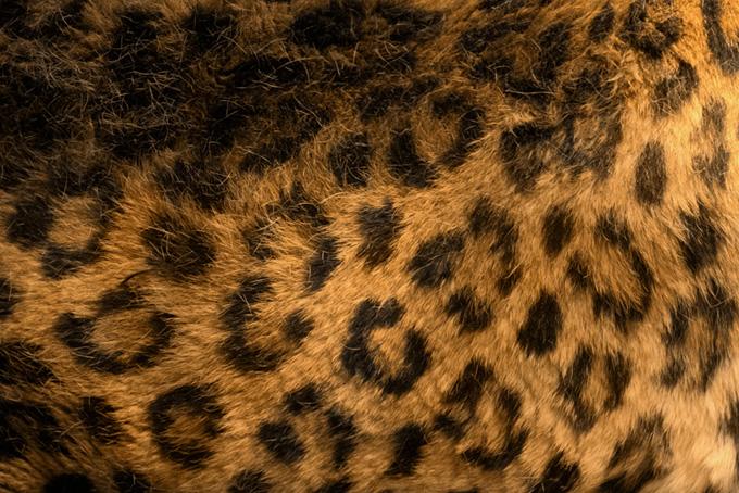 ヒョウ柄の写真素材