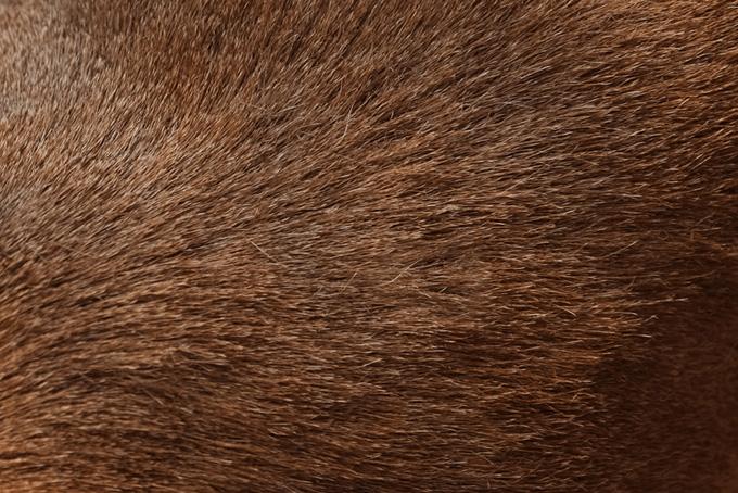 短くて硬い動物の体毛