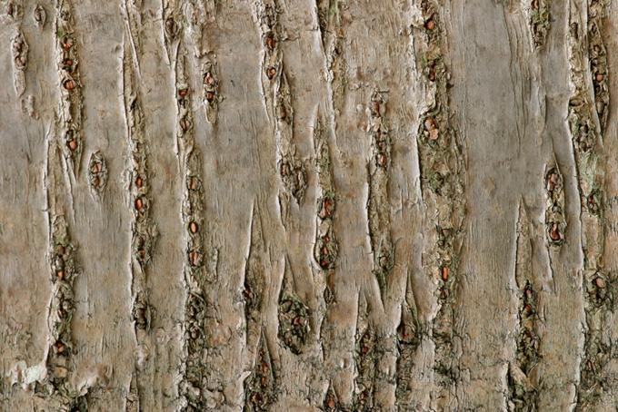 桜の木の樹皮のテクスチャの背景