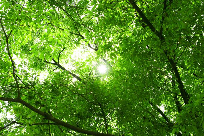 日が差し込む緑の木立(木 フリーの画像)