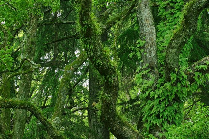鬱蒼とした草木生える樹海(木 フリーの画像)