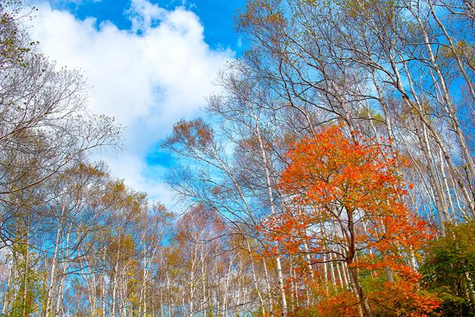 白樺林と秋の青空(紅葉 風景のフリー画像)