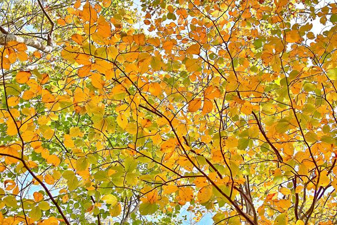 秋の季節の黄色い葉