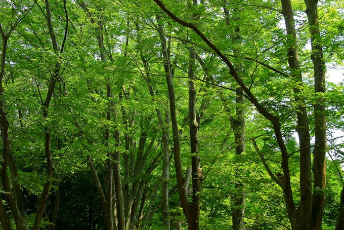 新緑のトンネルが続く林(木 フリーの画像)