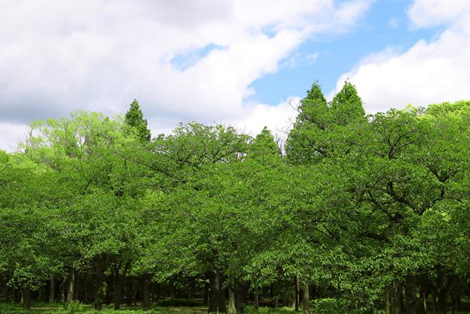 緑が溢れる新緑の林(木 フリーの画像)
