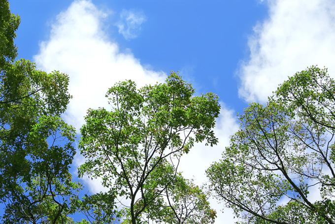 青空と緑の葉の樹木(木 フリーの画像)