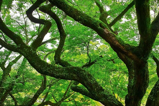 苔を纏う大きな幹の木(木 フリーの画像)