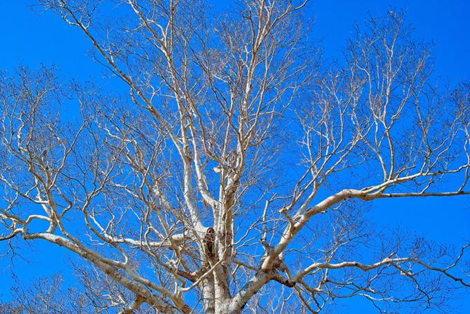 無数の枝が空に伸びる白い大木
