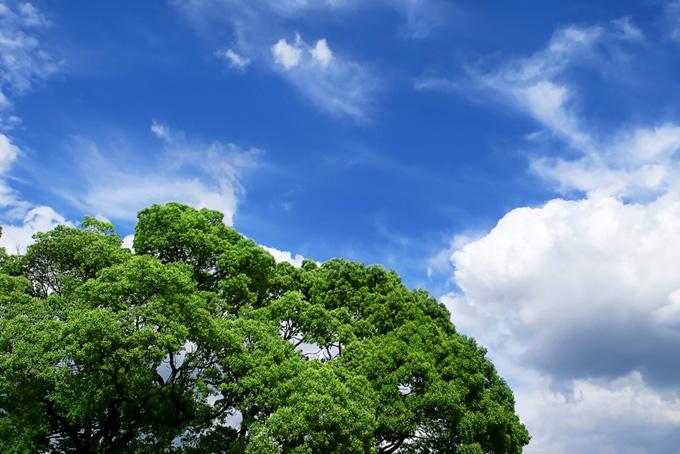 夏空の下の大きな樹(木 フリーの画像)