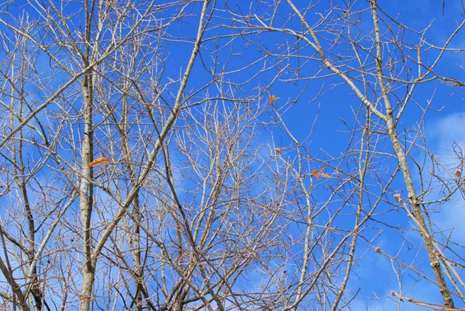 冬の始めに僅かに葉を残す樹木