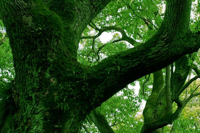 苔の生えた大木